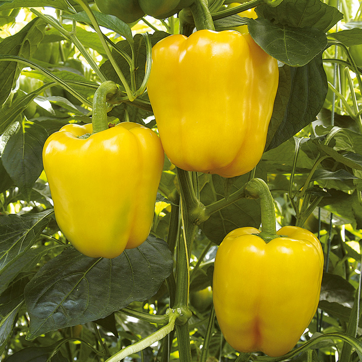 Bell pepper capsicum yellow in palnt