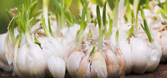 Garlic – Nectar for mortals – Natural antibiotic, antiviral and antifungal