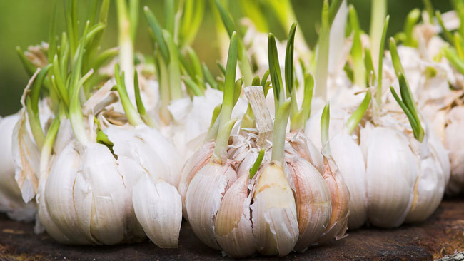 Garlic home remedies Nature Loc -health benefits