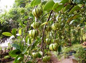 Kudampuli Or Kodampuli Garcinia Cambogia Malabar Tamarind