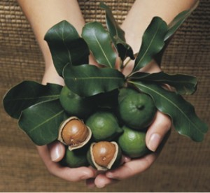 Macadamia-nuts- a handful of nuts