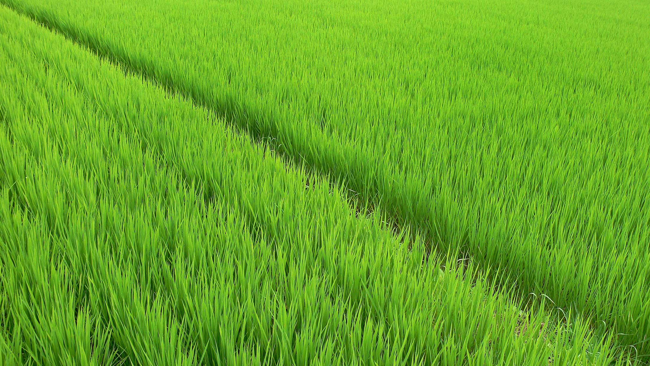 Palakkadan Matta paddy fields