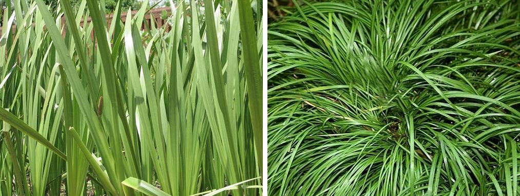 Sweet flag or Vayambu plants