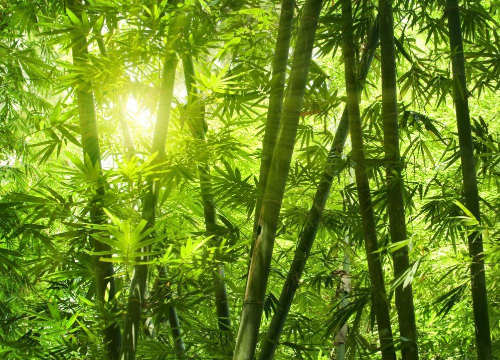 bamboo-rice plant nature loc