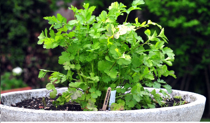 coriander-plant-decorative-plants-decorative-flowers