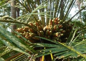 eenthu plant - cycads tree