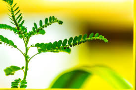 keezhar nelli-plants health benefits