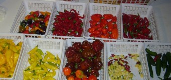 Kinds of pepper (Spices) – Long-Green-White-Black-Bell-Cayenne-Krona Peppers