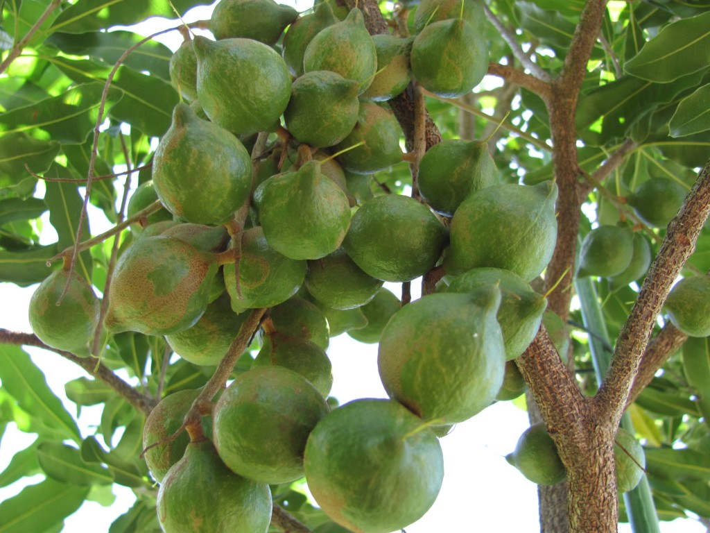 macadamia-tree nuts
