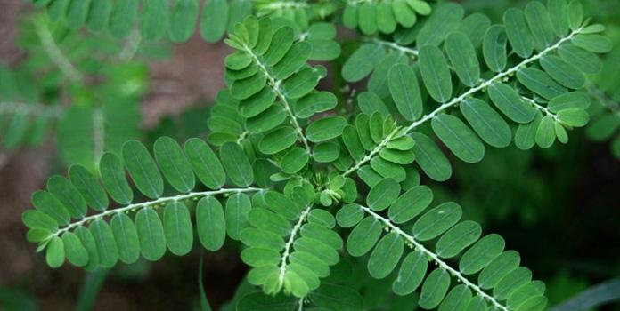 phyllanthus-niruri-keezhar nelli plants