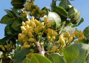 pistachio-plants -nuts