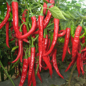 red chilly plant