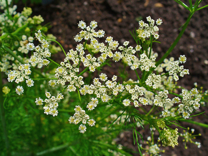 caraway-flower-plant