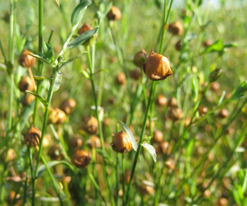 flax seeds plants flax seeds