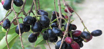 Jamun Fruit  (black plum,naval pazham) – Deep purple coloured fruit