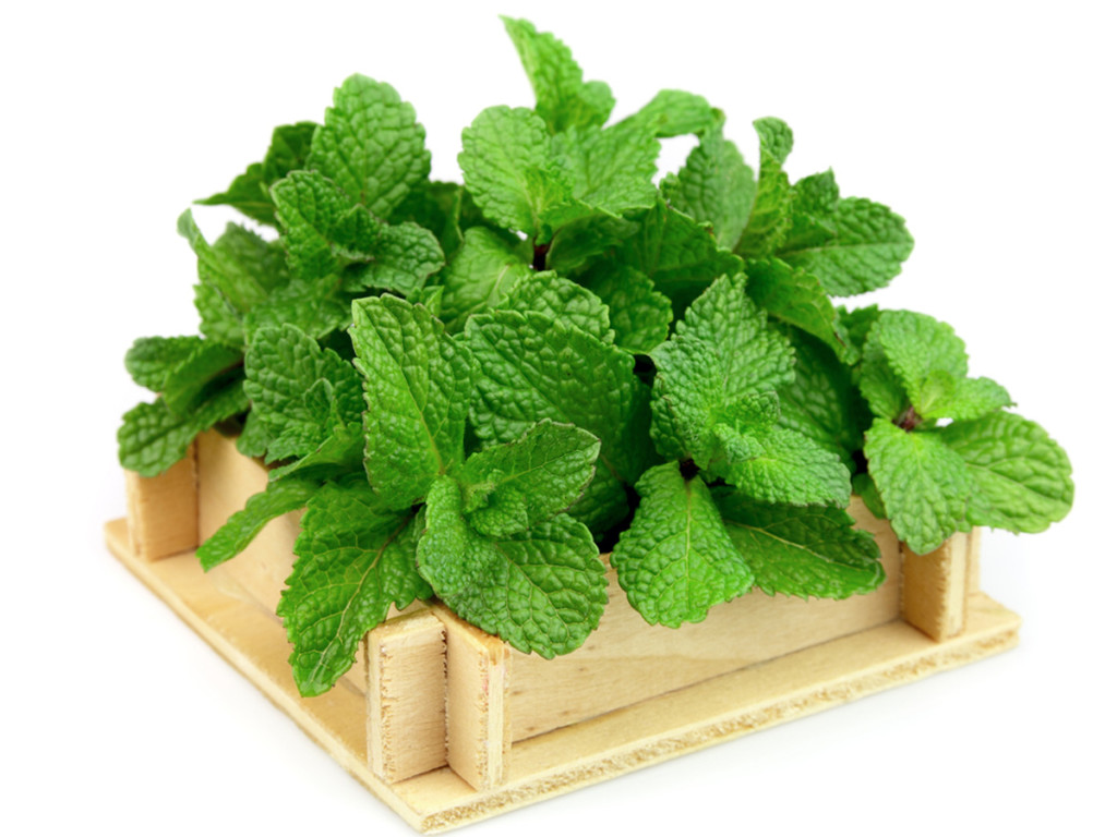 mint leaves king of herbs