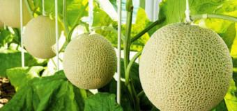 Musk Melon seeds – Cantaloupe/Muskmelon/Kharbuja