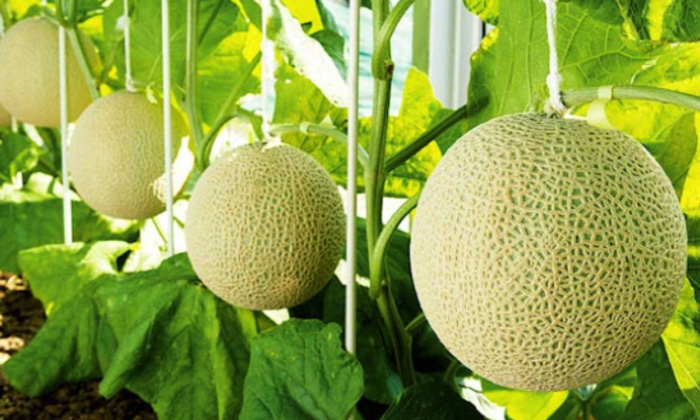 musk melon health benefits pharmacological