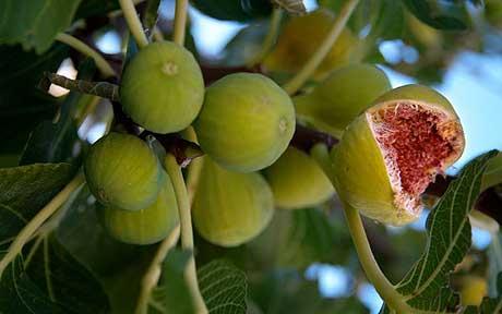 ripe-figs_fruits plants