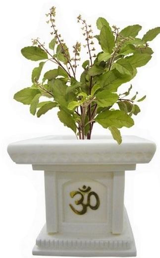 tulsi plant in pot
