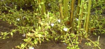 Cardamom (Elachi) -True (green) and Black cardamom