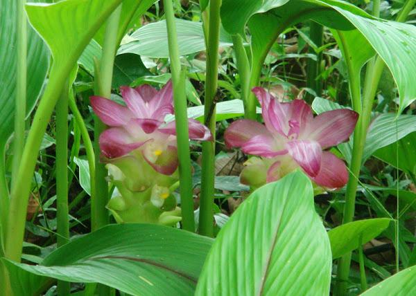 Kasthuri manjal wild turmeric plants
