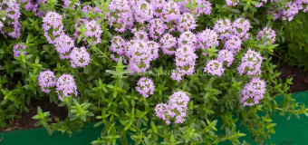 Thyme – An aromatic and medicinal herb