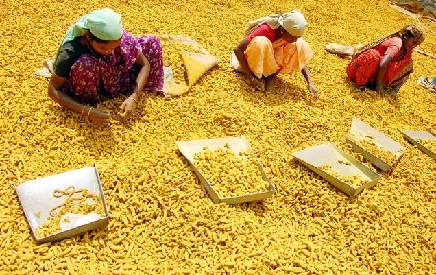 Turmeric harvesting