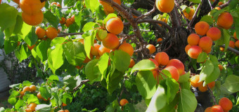 "Apricots are known as – ""Moons of the Faithful"""