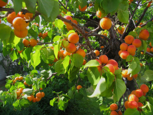 apricot-fruit tree