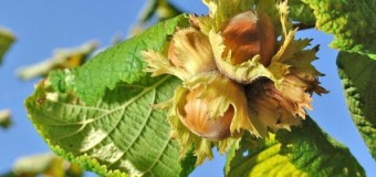 Hazelnut – Cobnut – Nutrition facts and health benefits