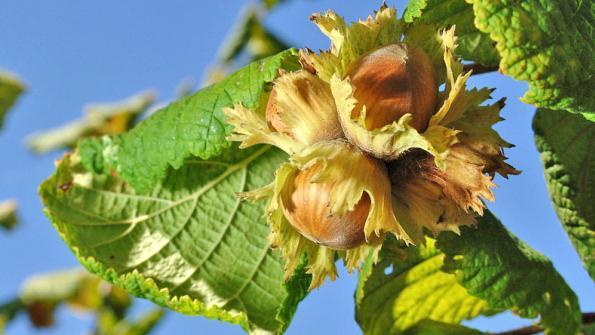 hazelnuts tree