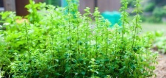 Oregano – Joy of the mountain – Niche Crop