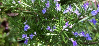 Rosemary leaves – Herbal Oil – Uses – Medicinal values – Health benefits