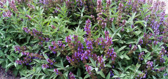 Sage – Herb helps to slow down the ageing process