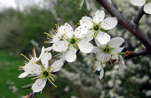 Blackthorn trees