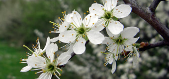 Blackthorn tree – Health Benefits