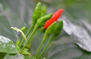 Kanthari-mulak-birds eye chillies natureloc