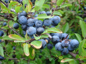 blackthorn_fruits sloe berries