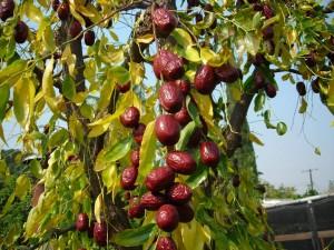 jujube fruits red dates buy online natureloc