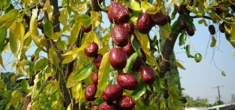 Jujube Fruits (Red date) – Health benefits and Medicinal Values