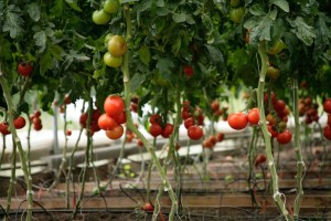organic farm -vegetable health benefits