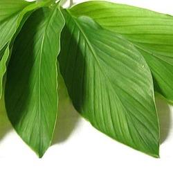 turmeric-leaf-oil helath benefits