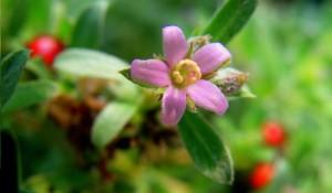 കല്ലൂർവഞ്ചി - Aquatic Rotula flower