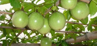 Passion Fruit (Grandilla)  – Health benefits and medicinal values