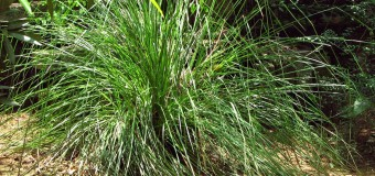Ramacham-Vetiver (Cuscus-Grass) – Therapeutic Uses