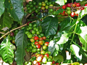 Coffee plant with beans natureloc