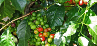 Coffees from cherry to cup  – Refresh the taste buds