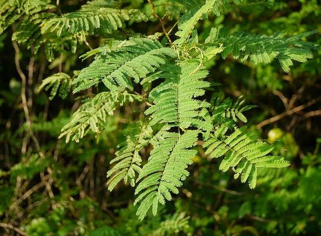 Incha plant natureloc