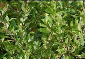 Mylanchi henna powder plants